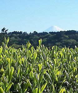 静岡自園自製深蒸銘茶 たかつか園/シズオカジエンジセイフカムシメイチャ タカツカエン 富士山と背比べをしながら育ったお茶