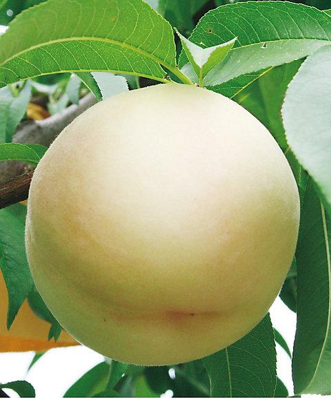 【お中元】岡山 桃「おかやま夢白桃」 ※収穫出来次第のお届け・送料有料【三越・伊勢丹/公式】