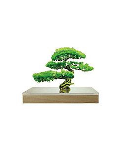toumei/トウメイ bonsai S 松